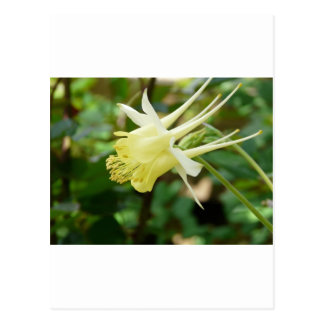 yellow columbine postcard