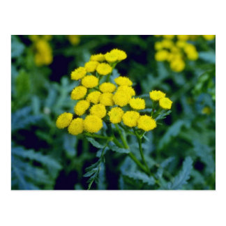yellow Common Tansy (Tanacetum Vulgare Tanaisie) f Postcard