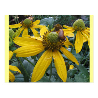 Yellow cone flowers, tiny beetle postcard