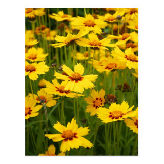 Yellow Coreopsis Field Postcard