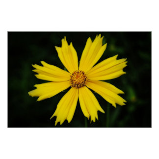 Yellow Cosmos Flower Close-up 2 Poster