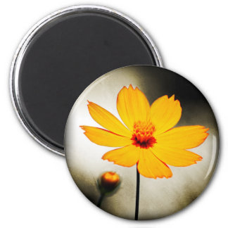 Yellow cosmos flower - Fine art Magnets