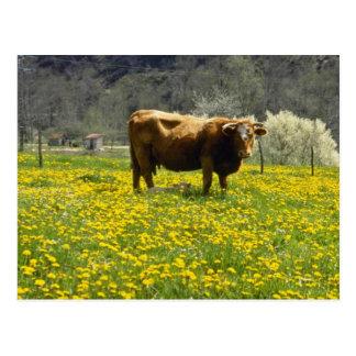 yellow Cow and dandelions Marcilhac-sur-Cele Fra Postcard