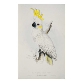 Yellow Crested Cockatoo Poster