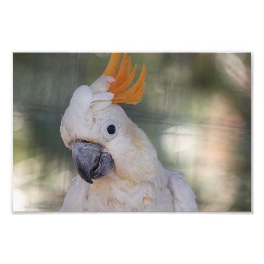 Yellow Crested Cockatoo - Print