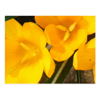 yellow crocus note and greeting cards