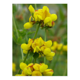 Yellow Crown-vetch, Unalaska Island Post Card