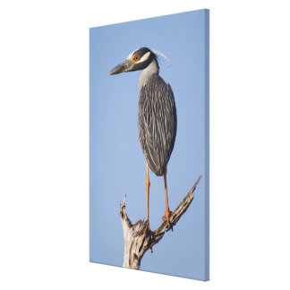 Yellow-crowned Night-Heron, Nyctanassa violacea, Canvas Print