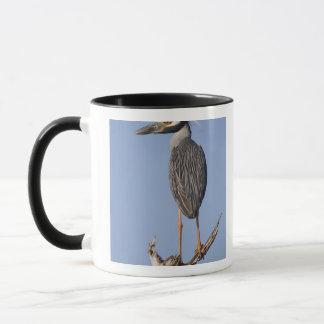 Yellow-crowned Night-Heron, Nyctanassa violacea, Mug