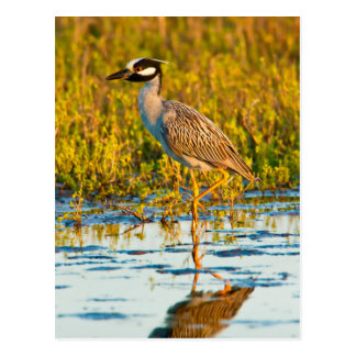 Yellow-Crowned Night-Heron (Nyctanassa Violacea) Postcard