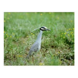 Yellow-crowned Night-Heron Post Card