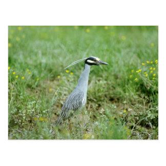 Yellow-crowned Night-Heron Postcard