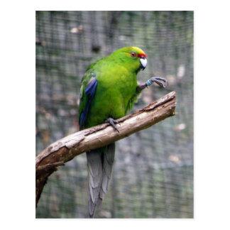 Yellow-crowned Parakeet Postcard
