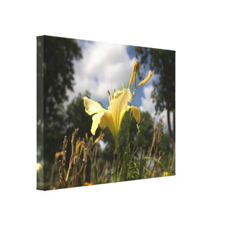 Yellow Cultivated Day-lily: Wide Angle View Gallery Wrapped Canvas