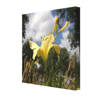 Yellow Cultivated Day-lily: Wide Angle View Stretched Canvas Print