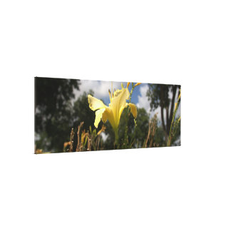 Yellow Cultivated Day-lily: Wide Angle View Canvas Print