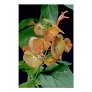 yellow Cup and saucer (Holmseioldia manguinea) flo Poster
