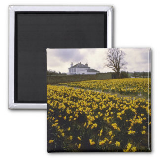 yellow Daffodil field flowers Magnets