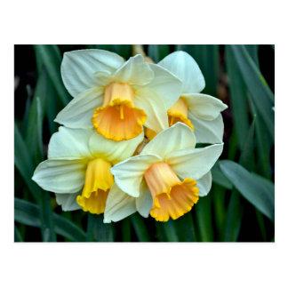 Yellow daffodil flowers postcard