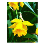'Yellow Daffodil' Post Cards