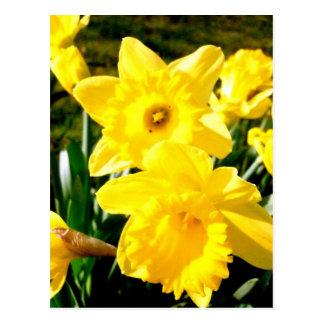 Yellow Daffodil Postcards