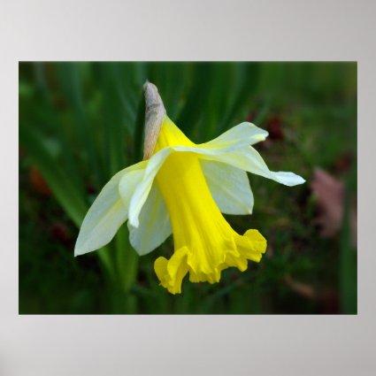 Yellow Daffodil Print