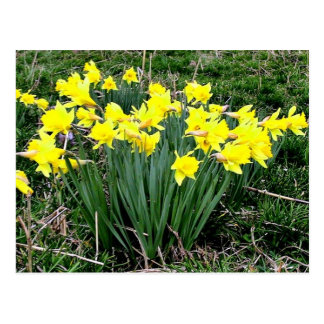 Yellow Daffodils blossoming on a sunny day Postcard