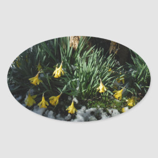 Yellow Daffodils flowers in the snow Oval Sticker