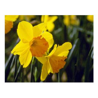 yellow Daffodils flowers Postcards