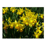 Yellow Daffodils I Cheery Spring Flowers Postcard