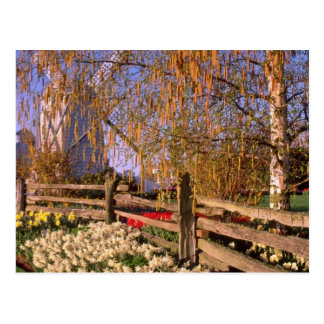 yellow Daffodils line weathered fence Washington Post Card