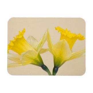 Yellow daffodils magnet
