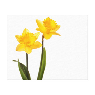 Yellow Daffodils on White - Daffodil Flower Blank Canvas Print