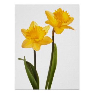Yellow Daffodils on White - Daffodil Flower Blank Poster