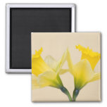 Yellow daffodils refrigerator magnets