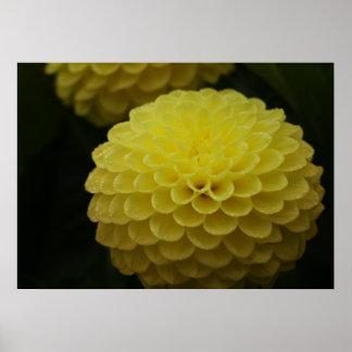 Yellow Dahlia Flower Poster