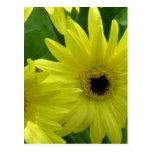 Yellow Daisy Festival Postcard