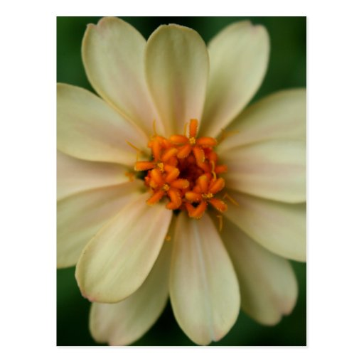 Yellow Daisy Flower green background close up Post Card