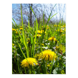 yellow dandelions postcard
