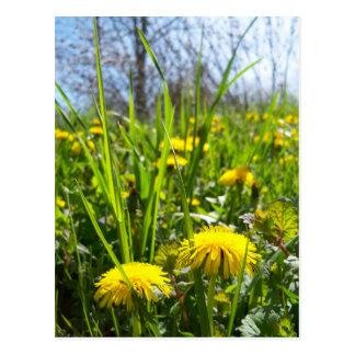 yellow dandelions postcard