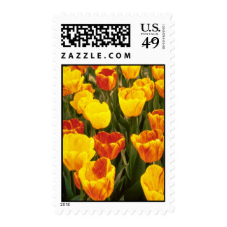 yellow Darwin Hybrid Tulips, 'Striped Oxford' flow Stamps