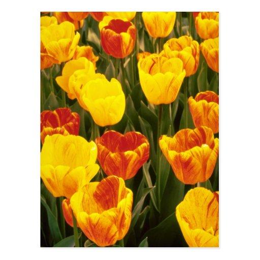 yellow Darwin Hybrid Tulips, 'Striped Oxford' flow Postcard