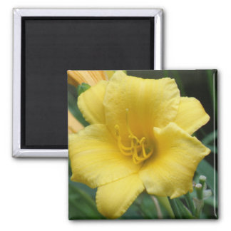 Yellow Daylily Square Magnet Magnets