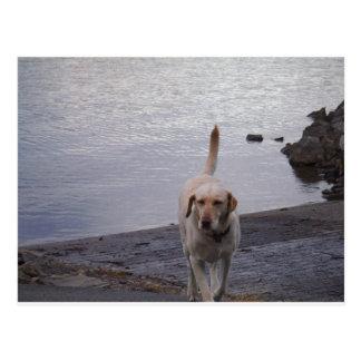 Yellow Dog on dock Yellow Labrador retriever Postcard