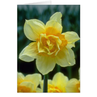 yellow Double Narcissi, 'Texas' flowers Cards