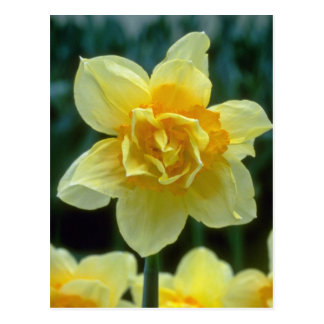 yellow Double Narcissi, 'Texas' flowers Postcard