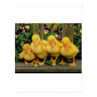 Yellow Duck Dancers Postcard