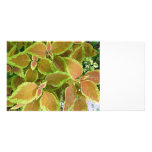 Yellow edged coleus plant picture card