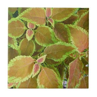 Yellow edged coleus plant tile