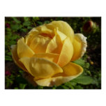 Yellow English Rose Old-Fashioned Floral Poster